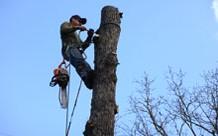 Employee Climbing & Working in Tree- Tree Inspection